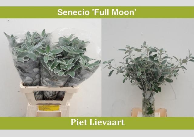 <h4>SENECIO 'FULL MOON'</h4>