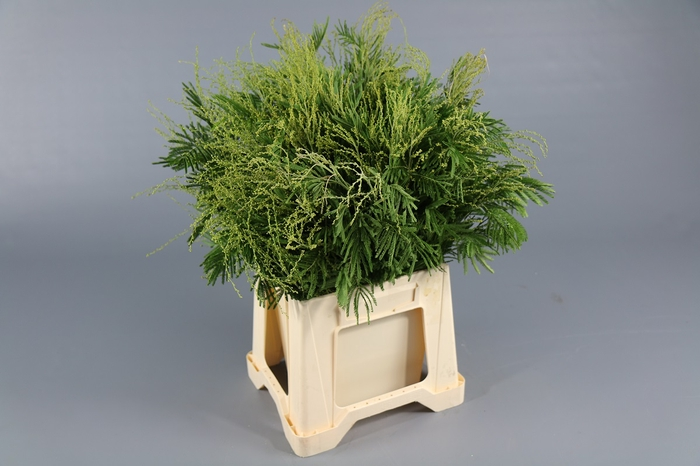 <h4>Mimosa Retinodes groen</h4>