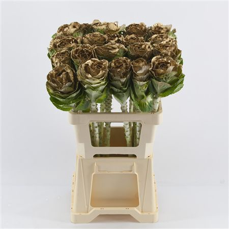 <h4>Brassica Gold</h4>
