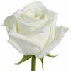 Rosa Pink Belle Rose
