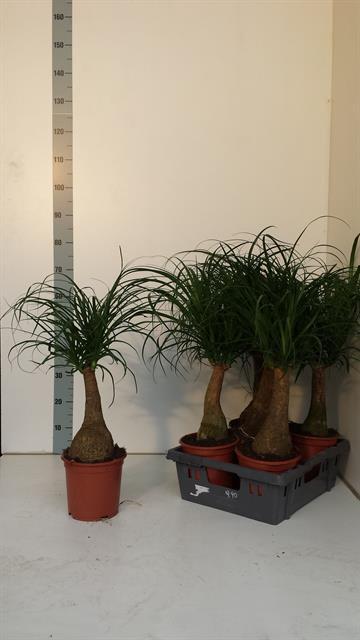 <h4>Nolina Recurvata (Beaucarnea) 19Ø 70cm</h4>