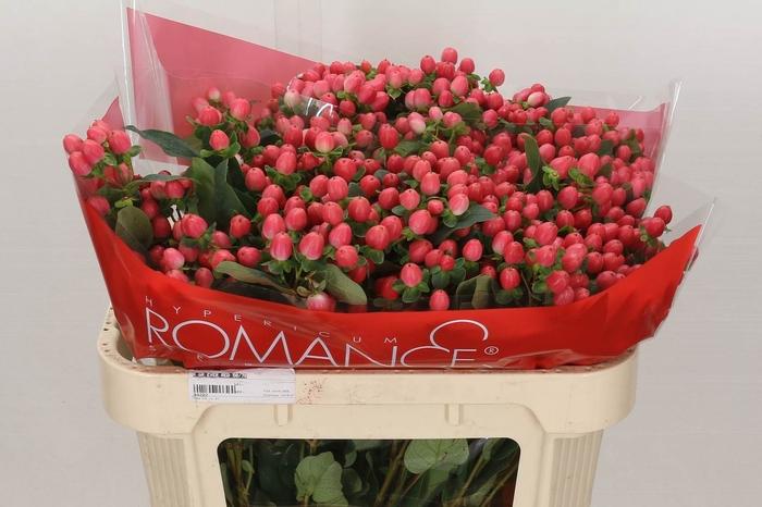 <h4>Hypericum Sweet Romance Vertakt</h4>