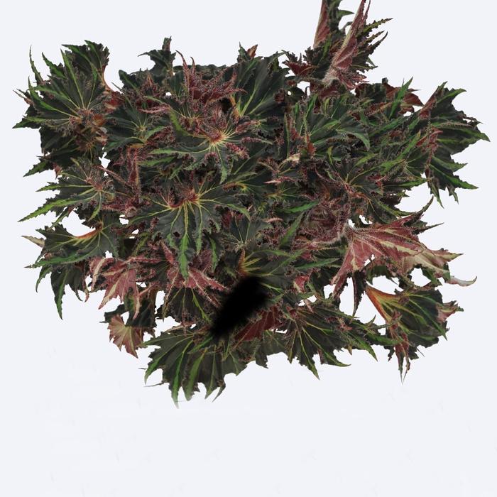 <h4>Begonia Magic Colours Breakdance</h4>