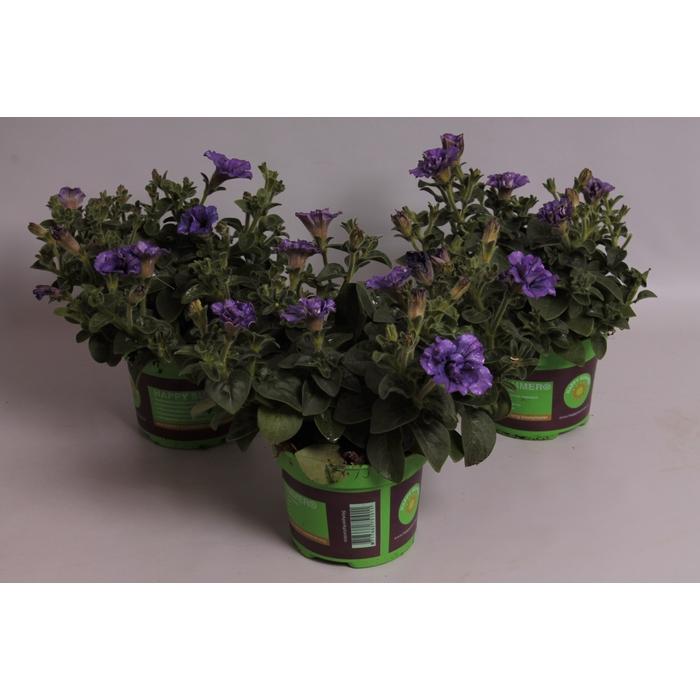<h4>Petunia Sweet Sunshine Provence</h4>