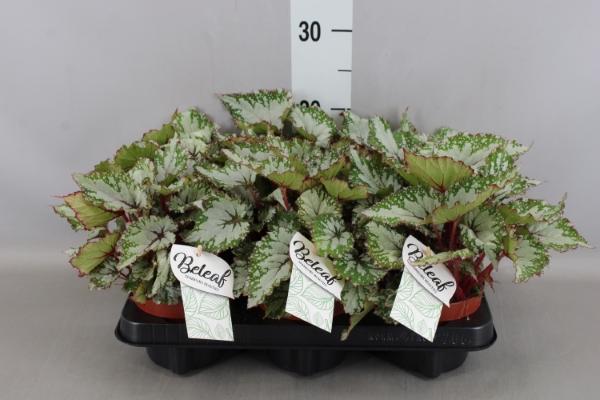 <h4>Begonia BD rex 'Asian Tundra'</h4>
