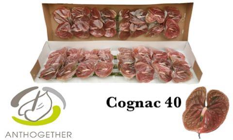 <h4>Anthurium andr. 'Cognac'</h4>