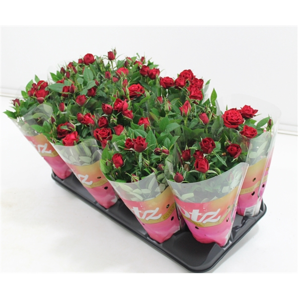 <h4>Rosa Lotz Red</h4>