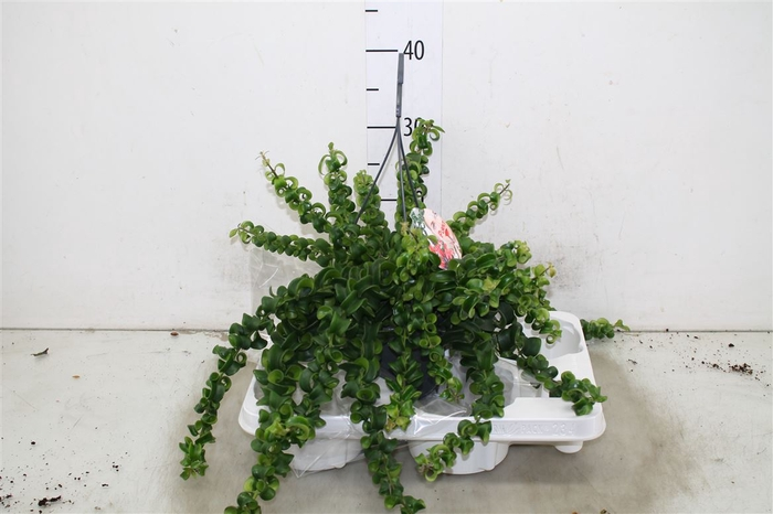 <h4>Aeschynanthus Rasta Hang</h4>
