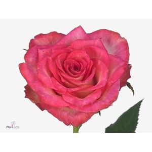 Rosa Gr. Double Date!