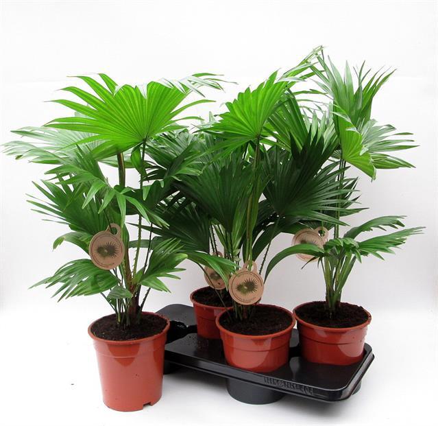 <h4>Livistona rotundifolia 17Ø 70cm</h4>