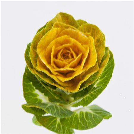 <h4>Brassica Powder Yellow</h4>
