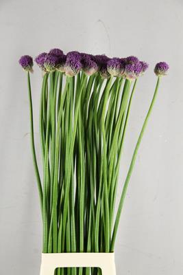 <h4>Allium Gladiator Extra</h4>