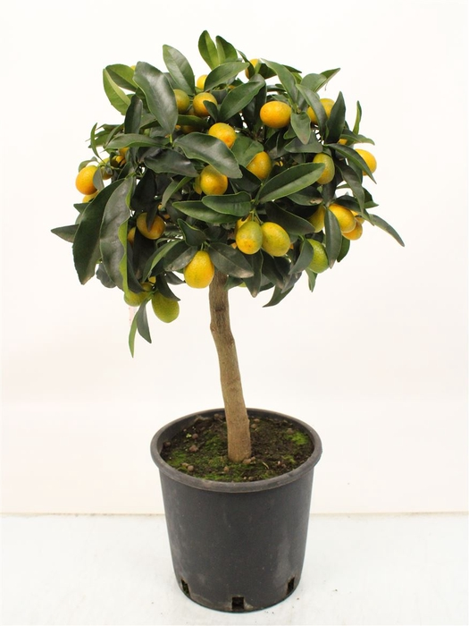 <h4>Citrus Kumquat Stem</h4>