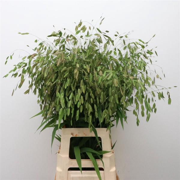 <h4>Chasmanthium latifolium</h4>