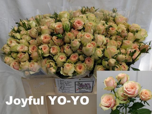 <h4>R TR JOYFUL YO-YO</h4>