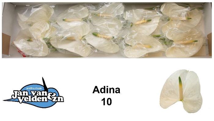 <h4>Adina 10</h4>