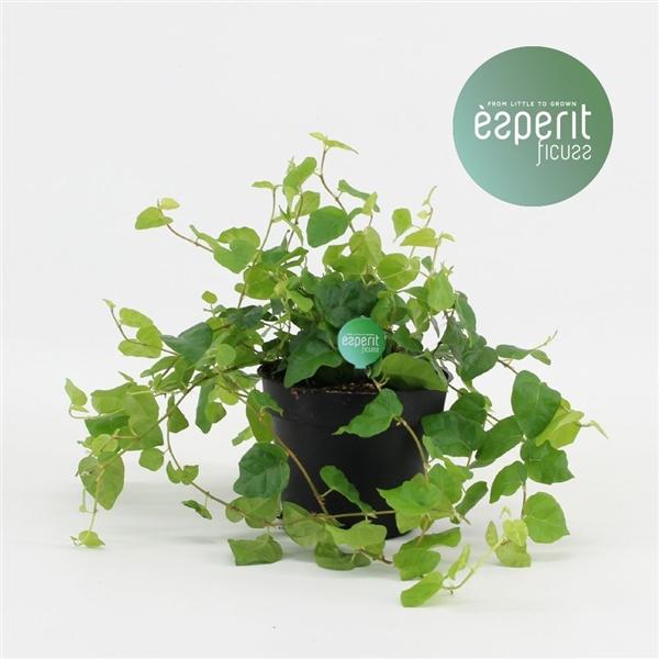 <h4>Ficus pum. Green Sunny</h4>
