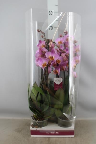 <h4>Phalaenopsis  'Ant Beaumont'</h4>