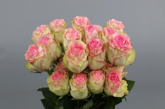 <h4>Rosa Ec Esperance</h4>