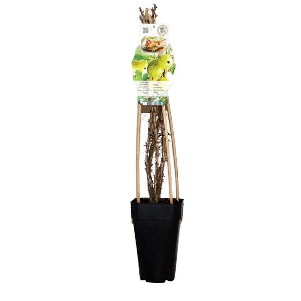 <h4>Ribes uva-crispa hinnonmaki grun</h4>