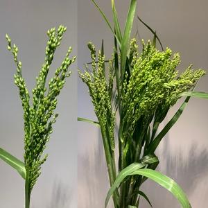 Grasses - Panicum Splash