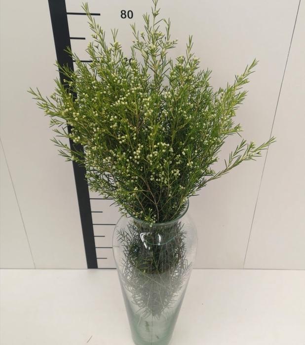 <h4>Flor de cera blanca cerrada</h4>