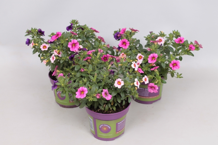 <h4>Happy Colours Calibrachoa Trixi Pastel</h4>