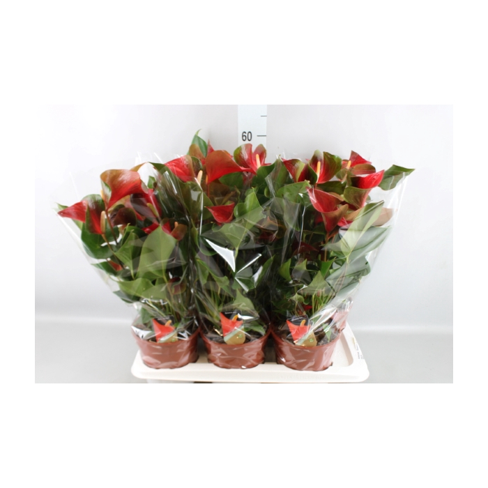 <h4>Anthurium  'Dynamite Red Imp'</h4>