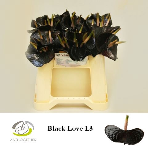 <h4>Anthurium andr. 'Black Love'</h4>