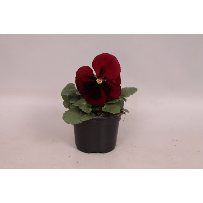 <h4>Viola wittrockiana F1 Red with blotch</h4>