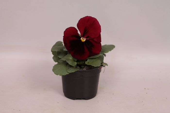 <h4>Viola wittrockiana F1 Red with blotch</h4>