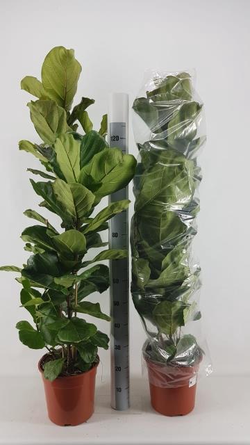 <h4>Ficus Lyrata 27Ø 140cm</h4>
