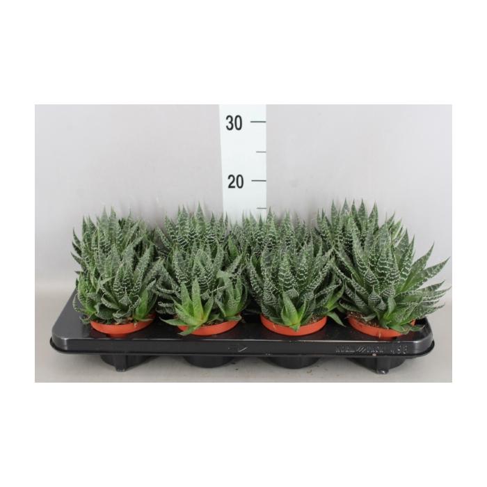 <h4>Aloe aristata Akila</h4>