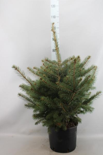 <h4>Picea pungens</h4>