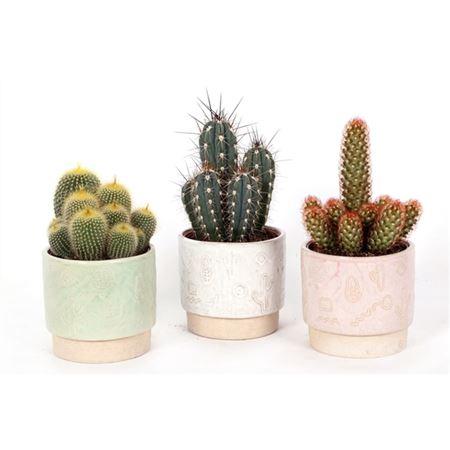 <h4>Cactus Inca 12 Cm</h4>