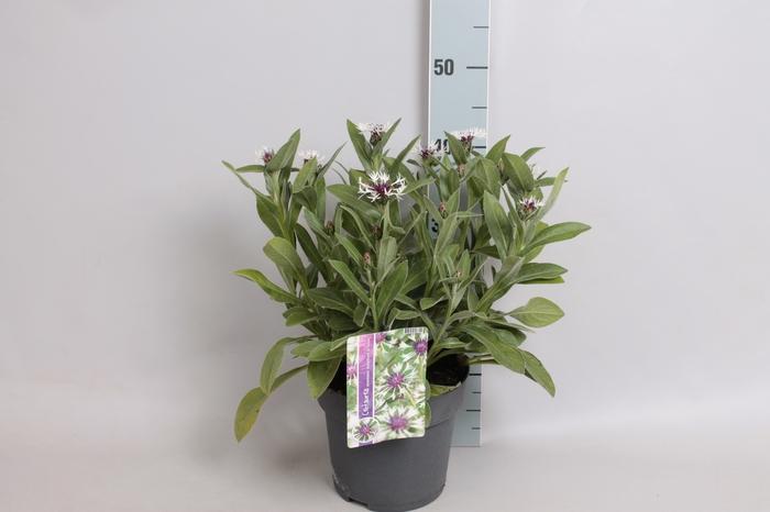 <h4>vaste planten 19 cm  Centaurea Amethyst in Snow</h4>