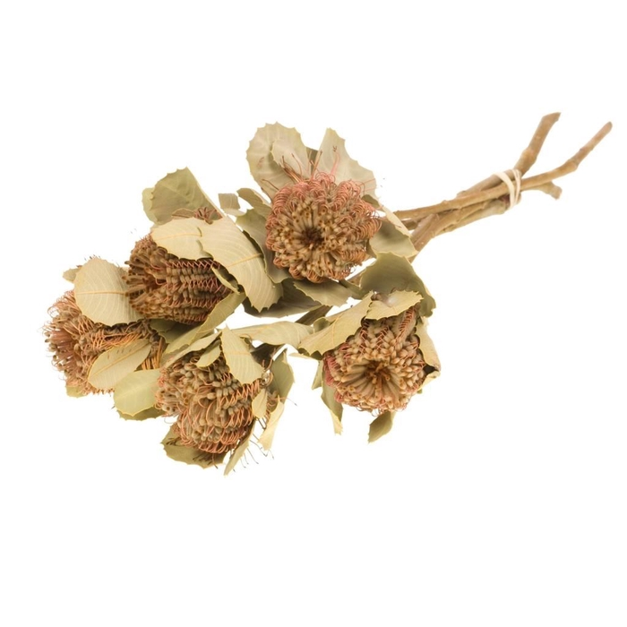<h4>Banksia coccinea natural</h4>