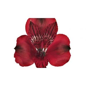 Alstroemeria roja Fancy