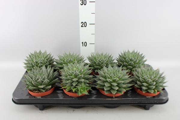 <h4>Aloe  'Zambezi'</h4>