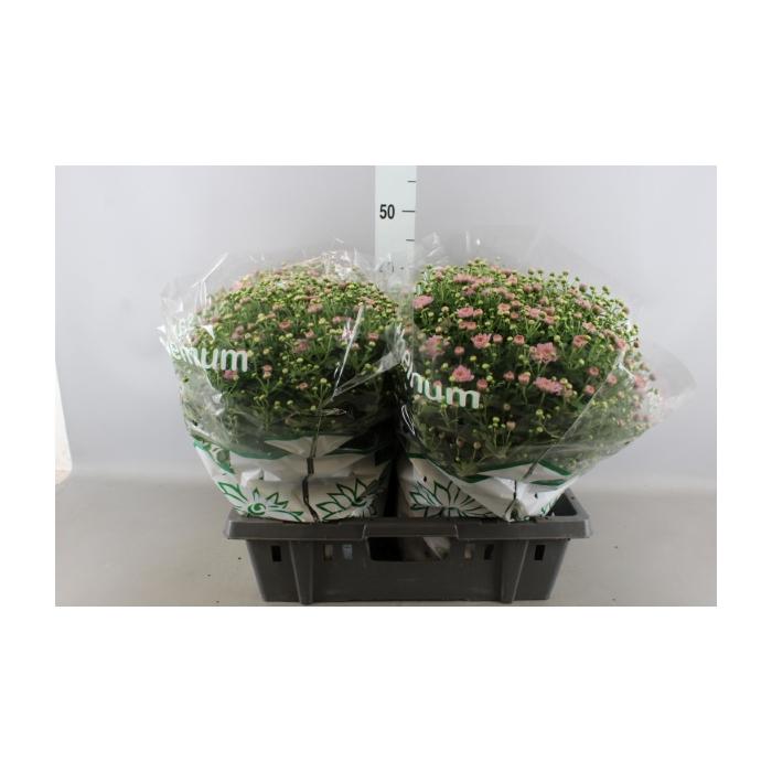 <h4>Chrysanthemum  'Jasoda dk Pink'</h4>