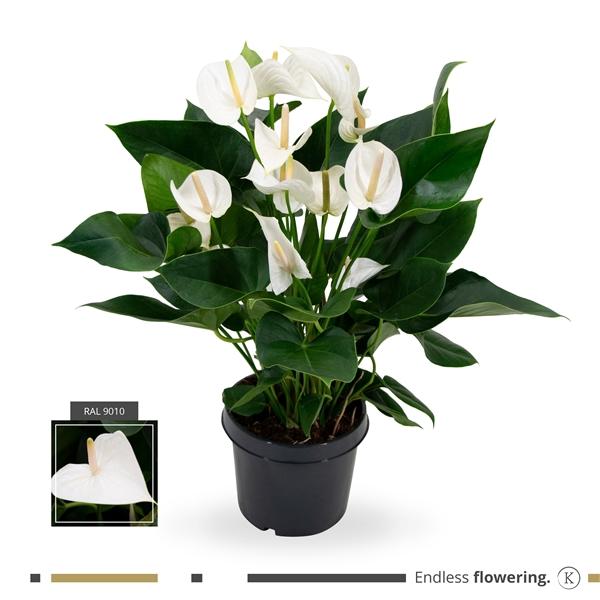<h4>KARMA - White Anthurium   21 cm</h4>