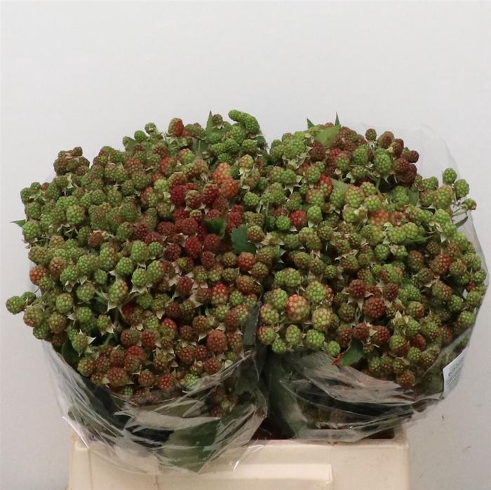 <h4>Rubus Fr Chester 40cm</h4>