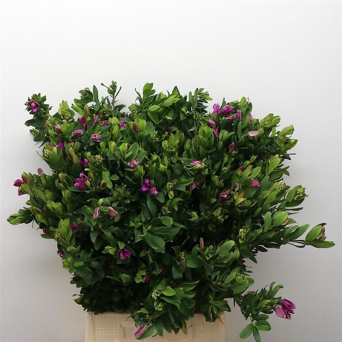 <h4>Polyga Myrtifolia</h4>