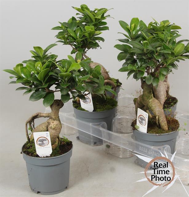 <h4>Ficus mi Ginseng 12Ø 35cm</h4>