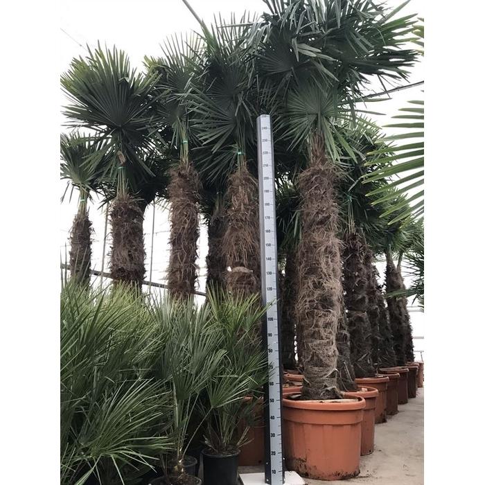 <h4>Trachycarpus fortunei 140/160</h4>