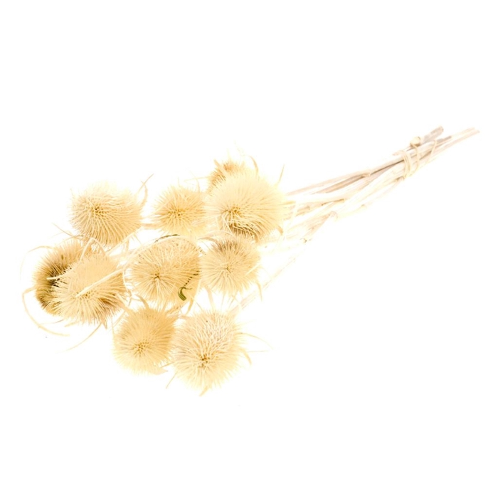 <h4>DRIED FLOWERS - CHARDON 55CM BLEACHED WHITE</h4>