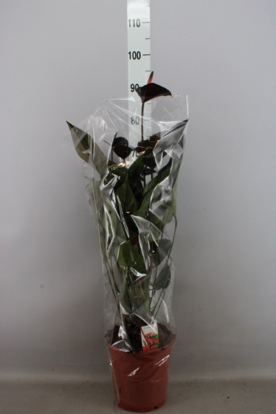 <h4>Anthurium  'Black Love'</h4>