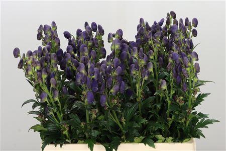 <h4>Aconitum Arendsii</h4>