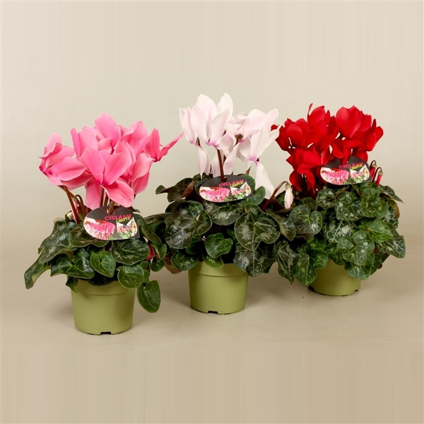 <h4>Cyclamen grootbloemig Super Serie XL Mix</h4>