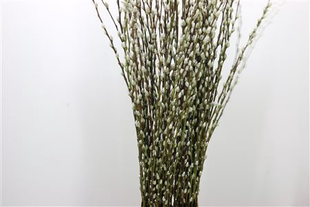 <h4>Salix Pussy Willow Snow Flake White</h4>